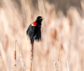 Red-winged Blackbird 15-4-_1142