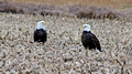 Bald Eagles 12-11-_1300