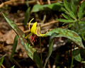 Yellow Trout Lilly 10-53-_0369