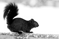 Black Squirrel 15-12-_4360