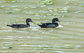 Wood Ducks 16-5-_5360