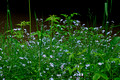 Forget-me-nots 11-6-_2856
