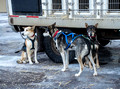 Copper Dog 150 Sled Dog Race Stage 1 Start 16-3-_4136