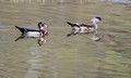 Wood Ducks 17-5-00274