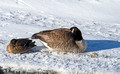Mallard Duck and Canada Goose 18-1-00181