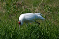 Whooping Crane - turning the eggs 09-70- 360