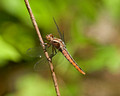 Dragonfly  09-66- 042