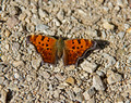Eastern Comma 14-9-_1839