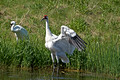 Whooping Cranes 09-70- 350