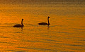 Trumpeter Swans 11-10-_1389