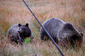 Grizzly Bears 14-9-_2720