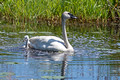 Trumpeter Swan and Cygnet Crex Meadows 17-6-01941