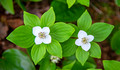 Bunchberry 14-6-_7798