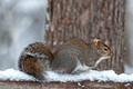 Grey Squirrel 15-12-_4335