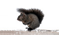 Black Squirrel 15-12-_4371