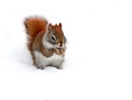 american red squirrel 15-12-_4355
