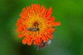 Orange Hawkweed Rouse Falls 17-6-01724