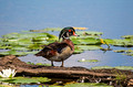 Wood Duck Crex Meadows 16-6-_8372
